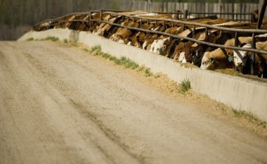 Cattle Eating In Trough