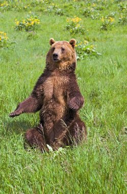 Grizzly Bear Sitting Up