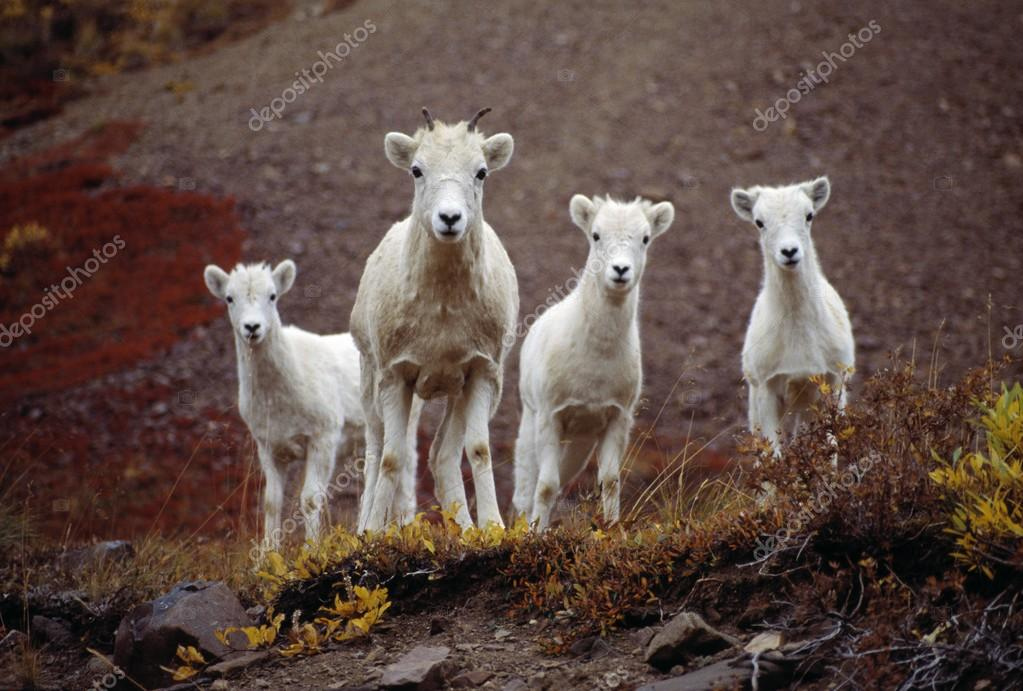 Four Dall Sheep