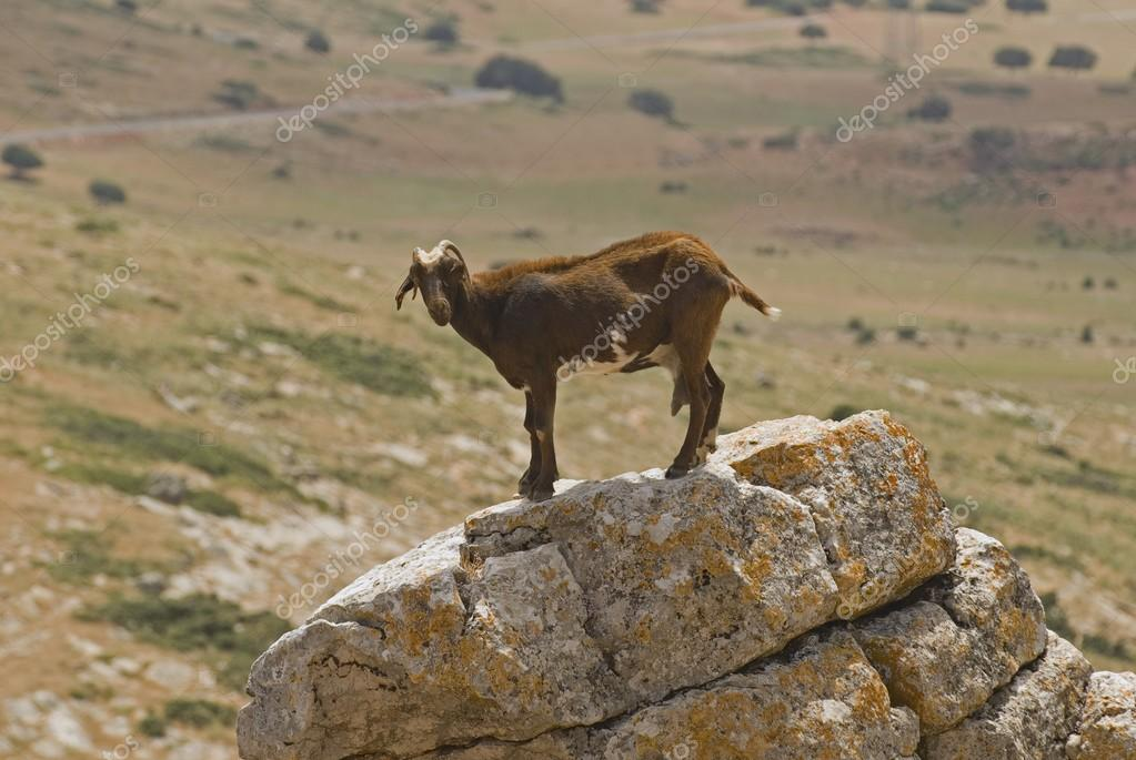 Goat Standing On Rock