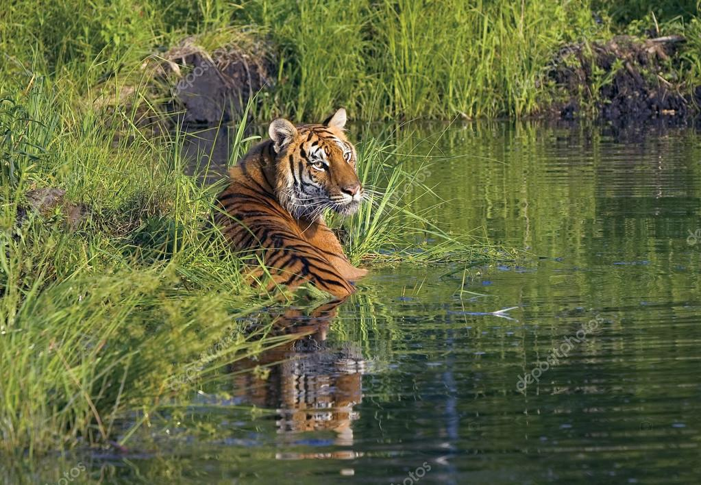 Tiger Lying In Water