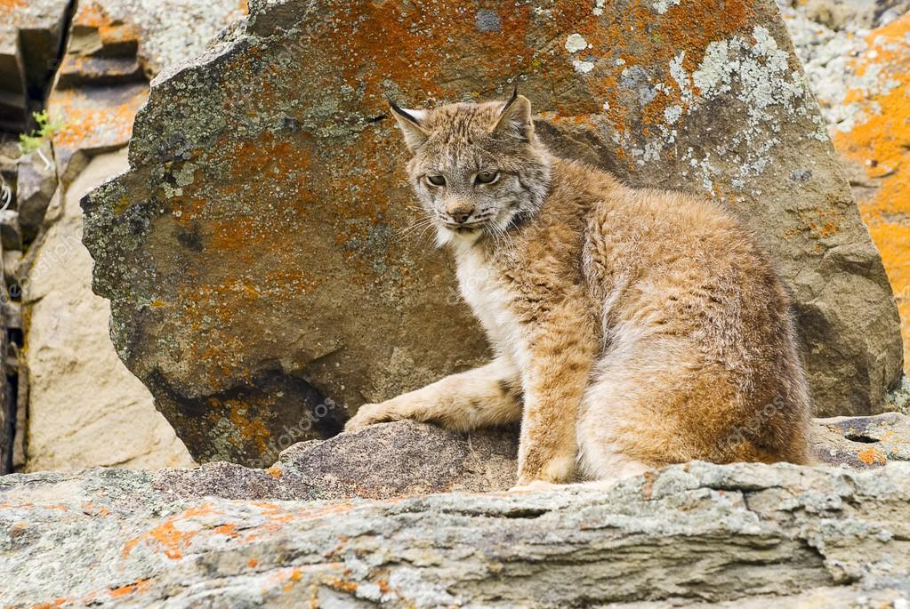 Young Canadian Lynx On A Rock Ledge