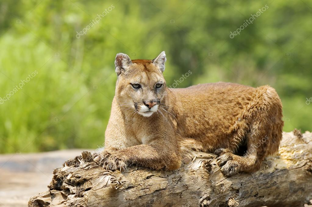 Cougar Lying On Log
