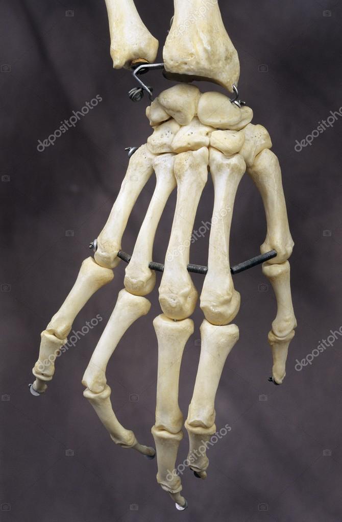 Human Hand Bones — Stock Photo © DesignPicsInc #31716483