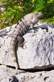 Iguana Clinging To A Rock