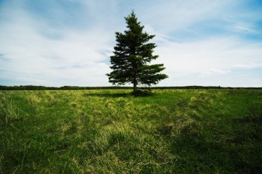 Single Evergreen Tree