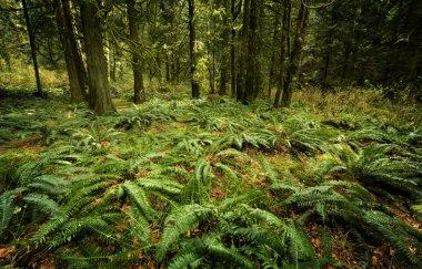 Ferns On Forest Floor