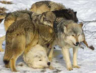 Wolf Pack Interaction