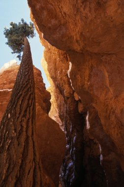 Worms-Eye View Of Pine Tree Growing Up Rock Crevice