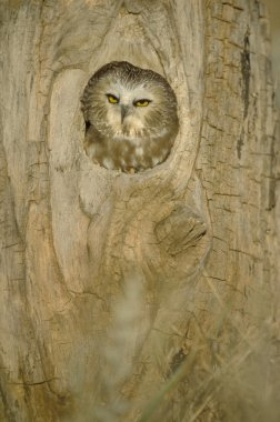 Saw Whet Owl In Hollow Tree