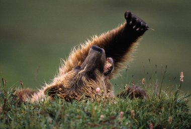 Grizzly Bear Lying On Back