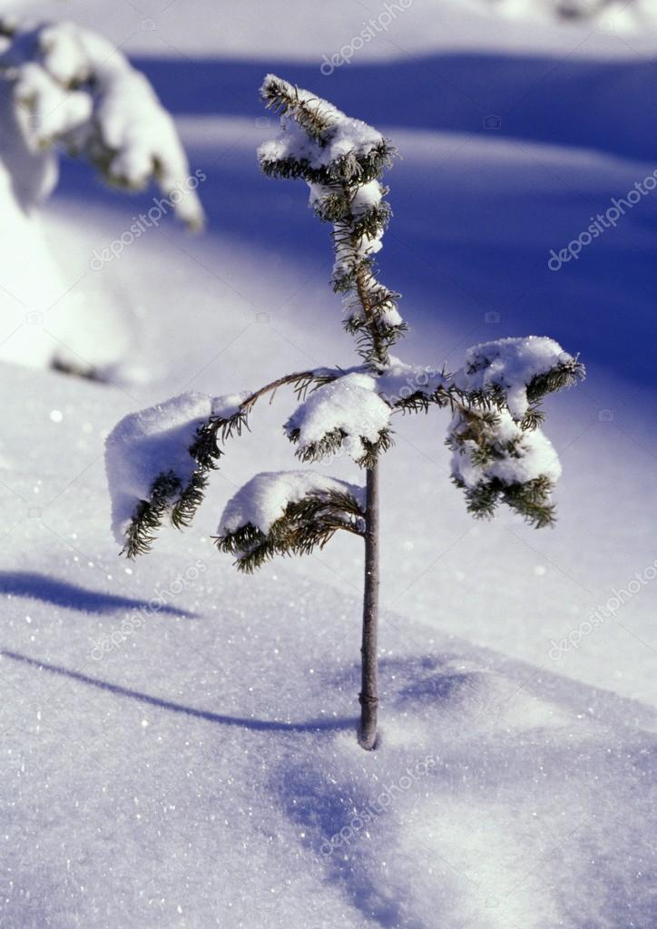 Heavy Snow On Young Pine Tree