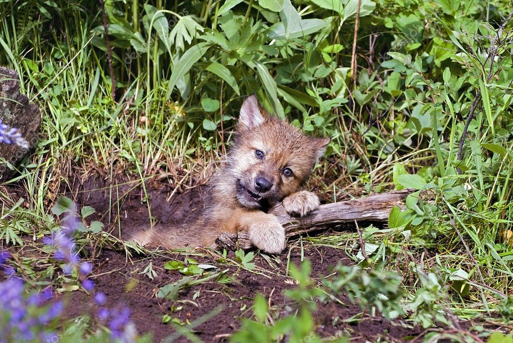 Wolf Cub At Den — stock photo