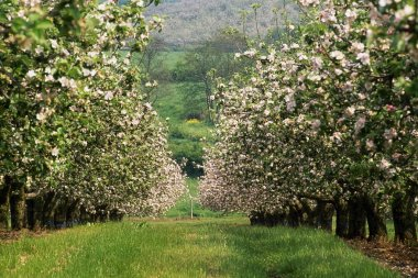 Apple Orchard In Blossom, Co Armagh, Ireland