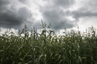 Field Of Corn With Dark Clouds