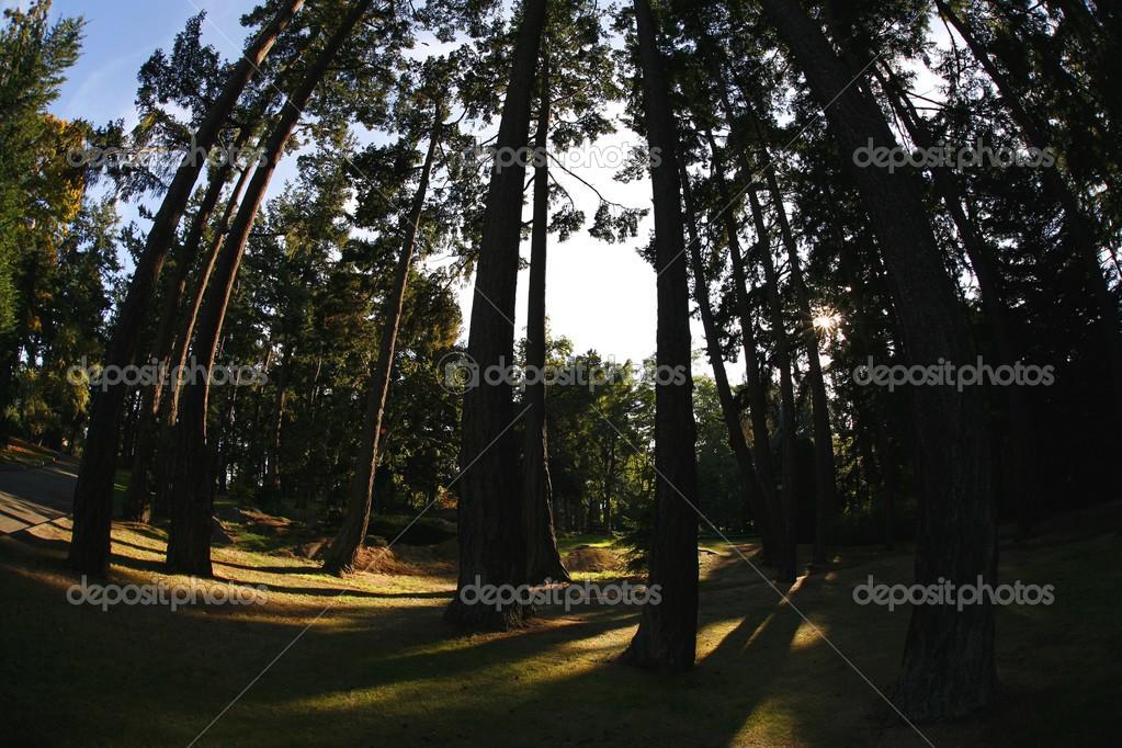 Towering Cedar Trees In Beacon Hill Park