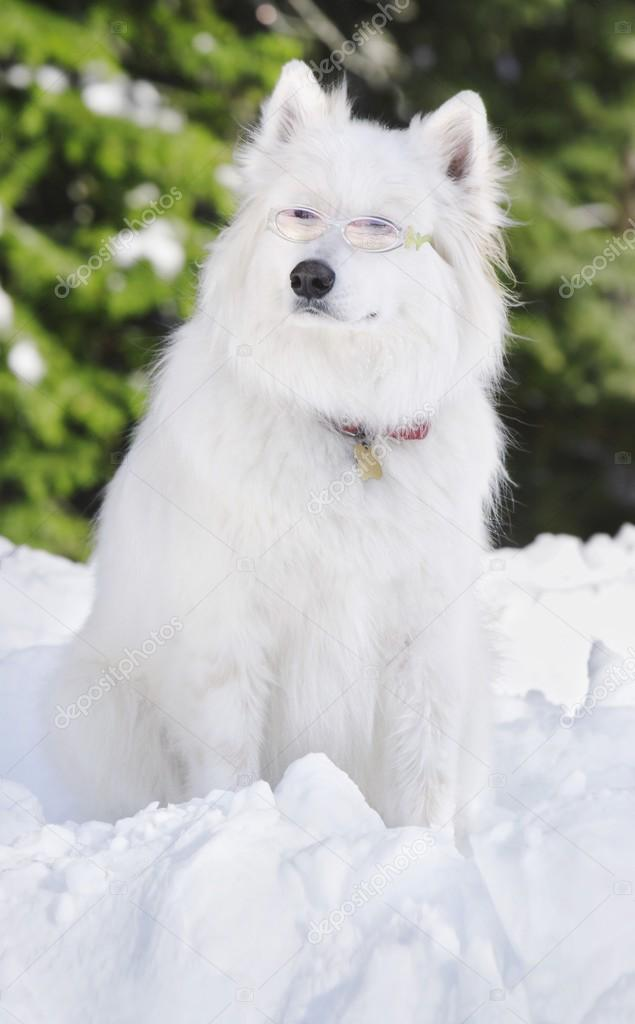 White Dog Sitting In The Snow