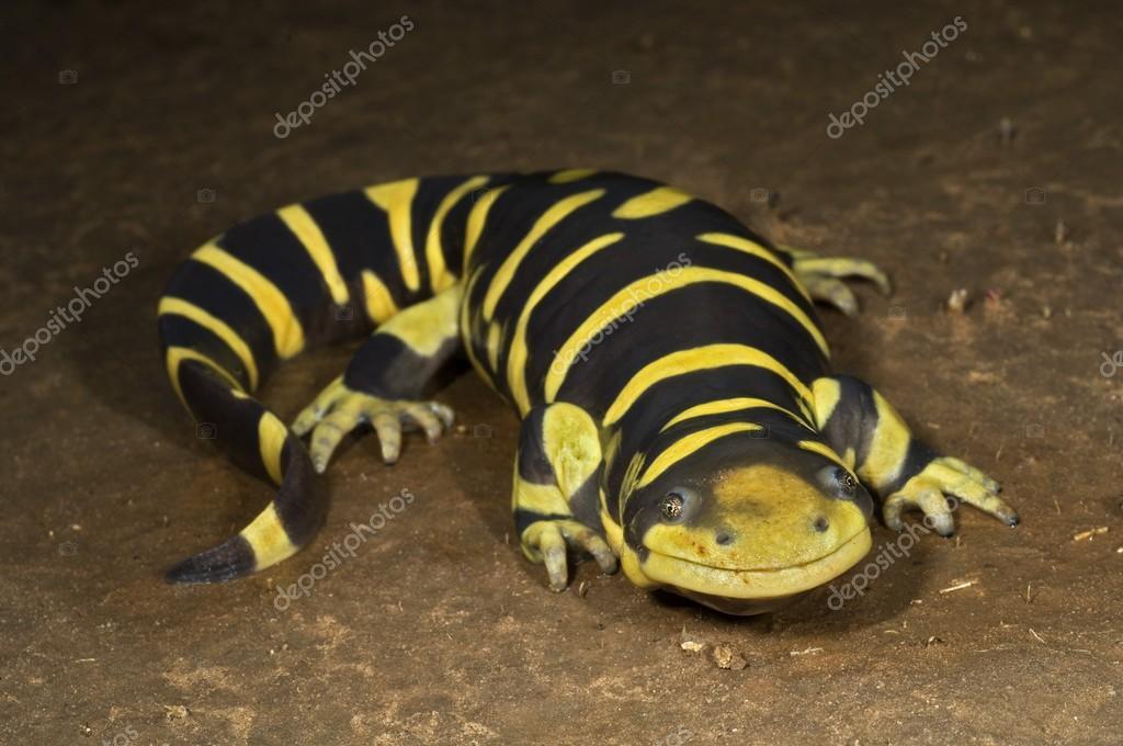 A Texas Barred Tiger Salamander