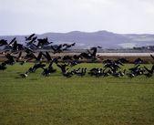 Fotografie Brent Gänse kommt für eine Landung