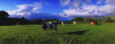 Holstein-Friesian Cattle Grazing In Irish Field