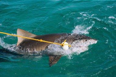 Tiger Shark Taking Bait