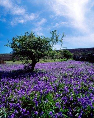 Bluebells & Whitethorn Tree, Borris, Co Carlow, Ireland stock vector
