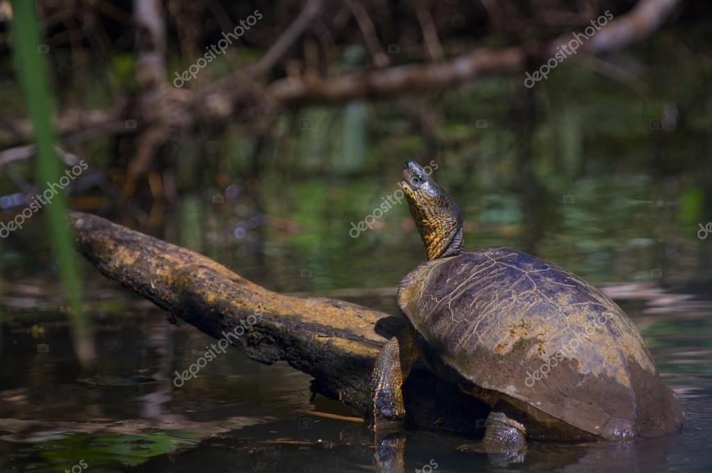 Black River Turtle (Rhinoclemmys Funerea)