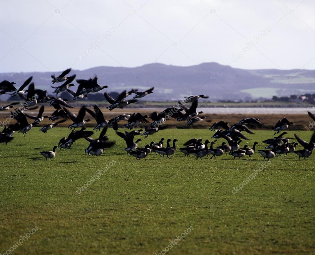 Brent Geese Coming In For A Landing