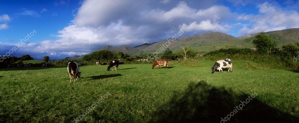 Holstein-Friesian Cattle, Co Cork, Ireland