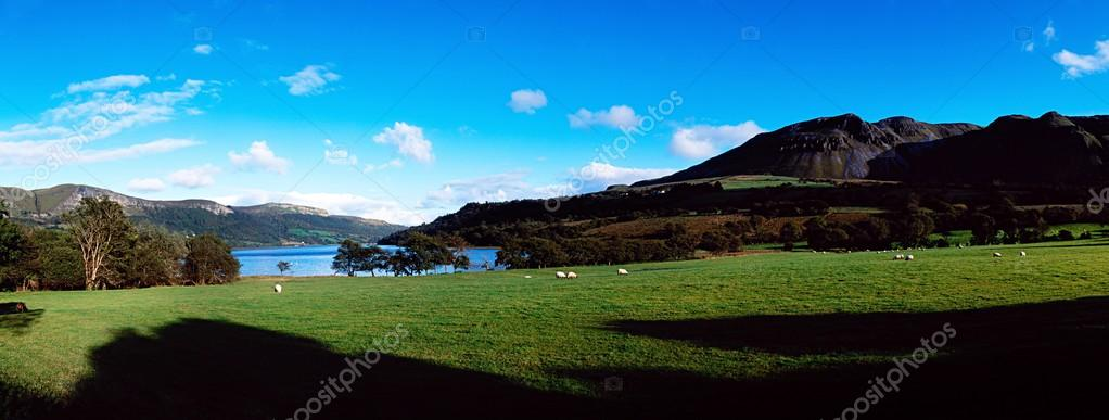 Sheep, Glencar Lake, Co Sligo, Ireland