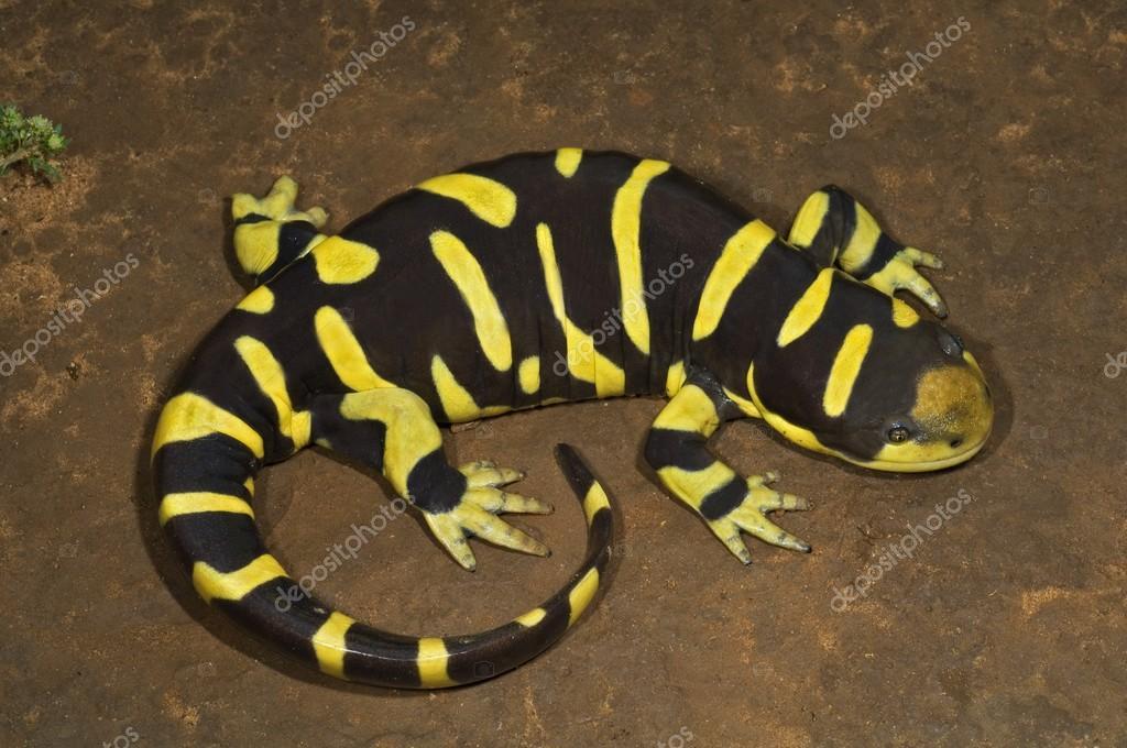 Texas Barred Tiger Salamander