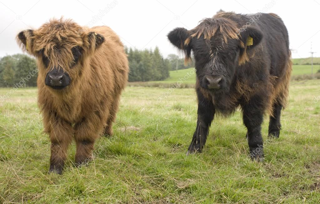 imágenes reses terneros de reses de las highland escocia foto