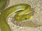 zelený had rat (elaphe prasina)
