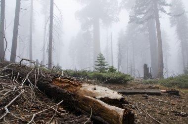 Sequoia national park, California, Usa stock vector
