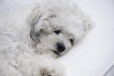 White dog resting