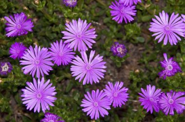 Blooming Purple Aster Flowers