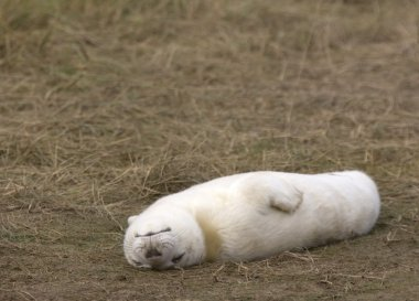 Gray Seal (Halichoerus Grypus). Baby Seal Playing On The Ground