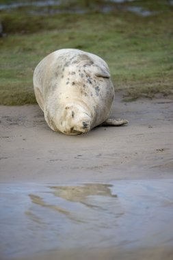Gray Seal (Halichoerus Grypus), Donna Nook, Lincolnshire, England. Seal Resting On The Ground