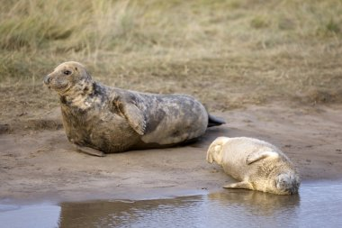 Gray Seal (Halichoerus Grypus), Donna Nook, Lincolnshire, England. Seal And Seal Pup Resting On The Ground