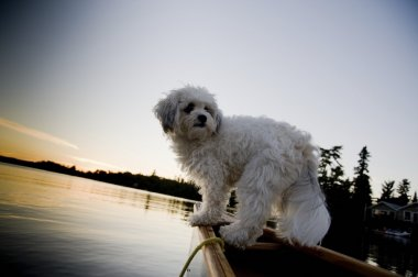 White dog standing in row boat on lake