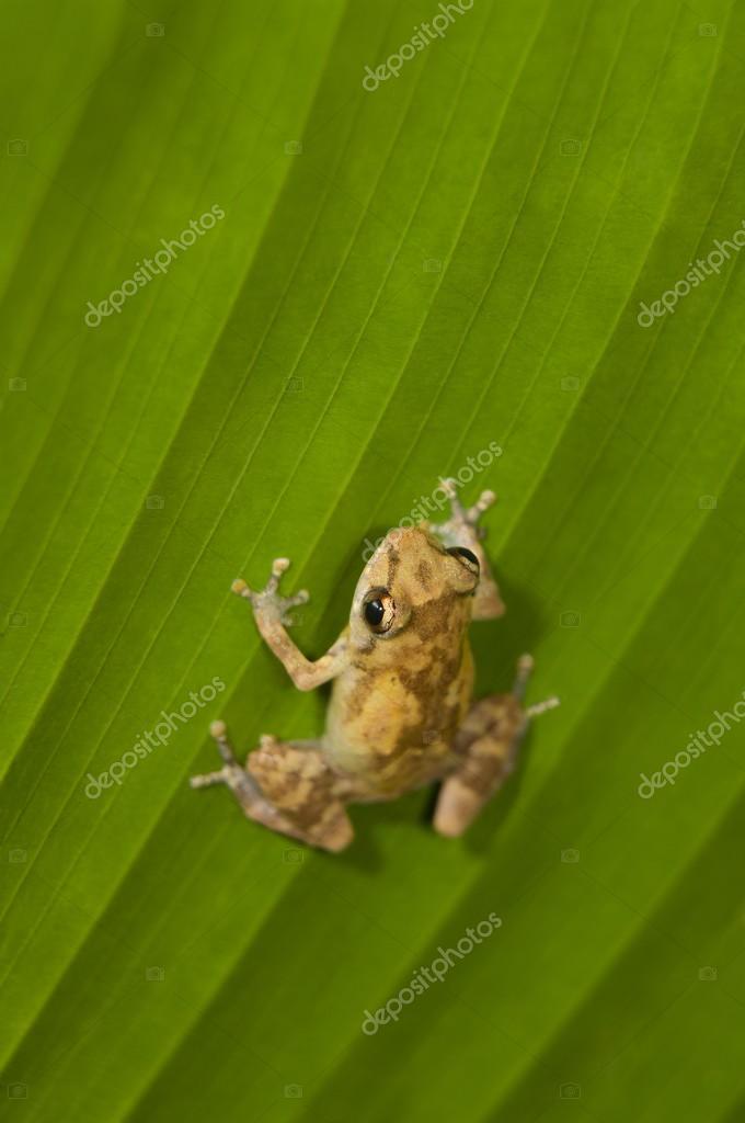 Dink Frog (Eleutherodactylus Diastema) On A Leaf