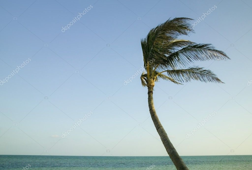Palm Tree Blowing In The Wind In The Florida Keys