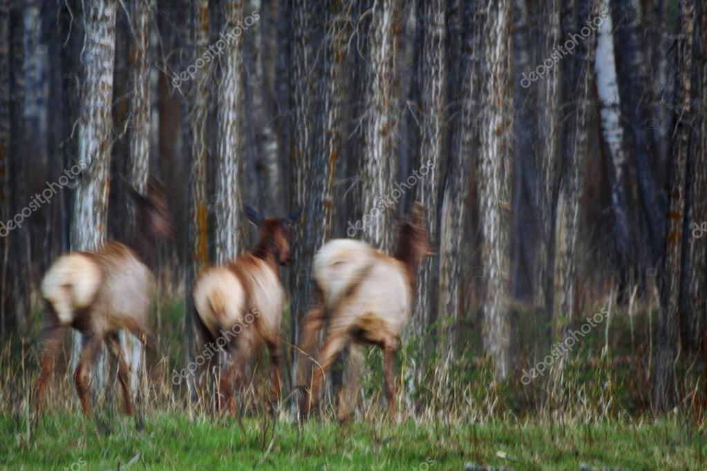 Three Elk Running In A Forest