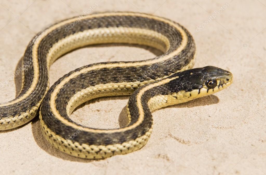 Coast Garter Snake, (Thamnophis Elegans Terrestris). Snake On The Ground