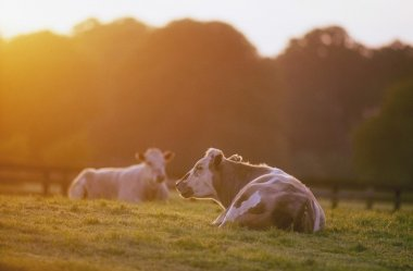 Cattle Sitting In Meadow During Sunset