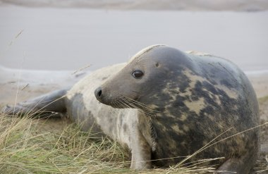 Gray Seal (Halichoerus Grypus), Donna Nook, Lincolnshire, England. Seal Lying Down