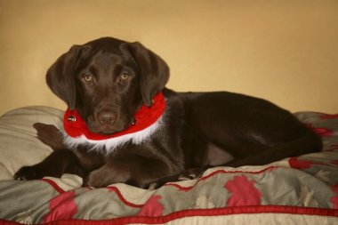 Dog With Christmas Collar
