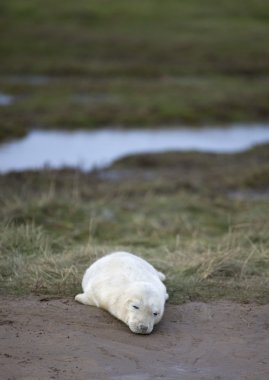 Gray Seal (Halichoerus Grypus), Donna Nook, Lincolnshire, England. Young Seal Lying On Grass