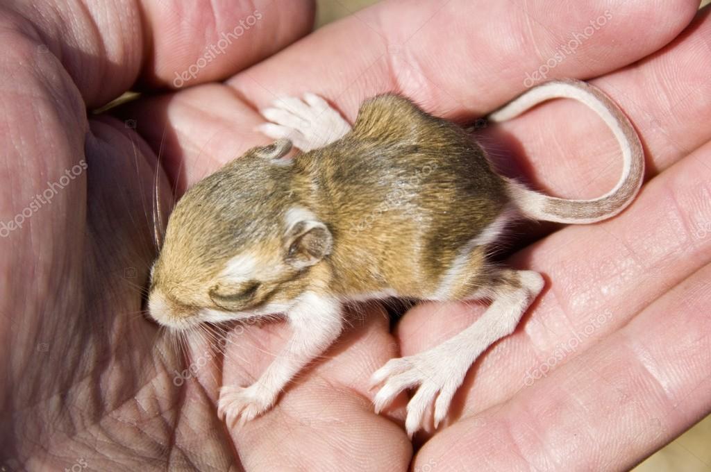 um bebê com dentes de cinzel rato canguru dipodomys microps sendo