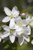 Fotografie Crab Apple Blossoms
